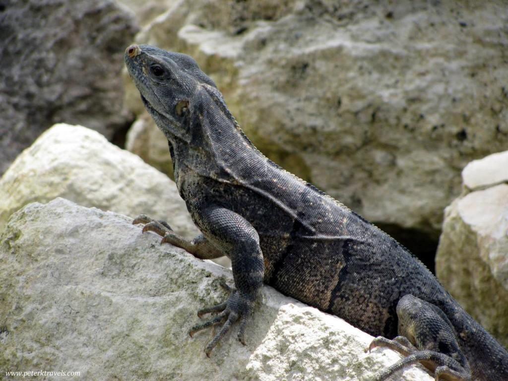 Iguana at Edzna