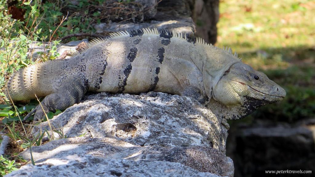 Iguana at Mayapan
