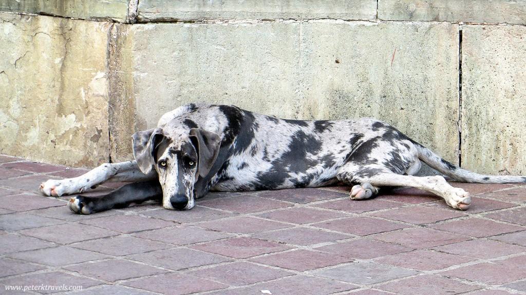 Dog in Guanajuato