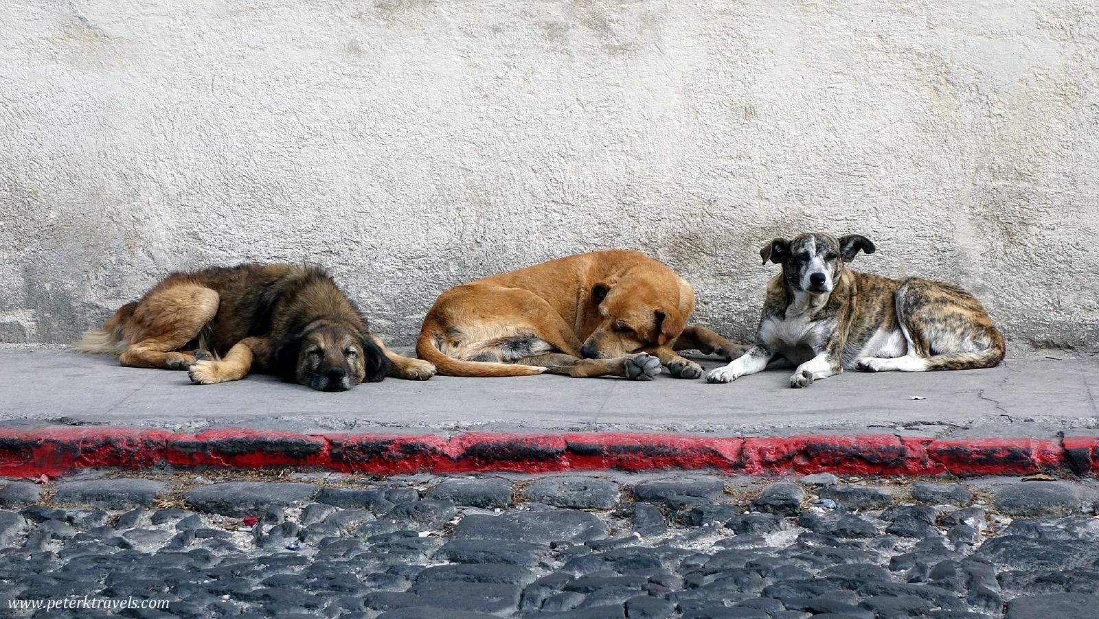Street dogs, Antigua Guatemala
