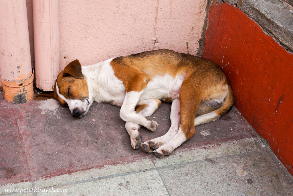 This dog is tired out, Guanajuato