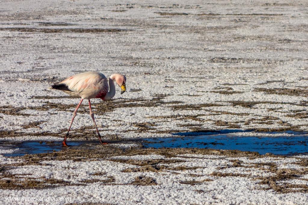 Flamingo, Salar de Uyuni.