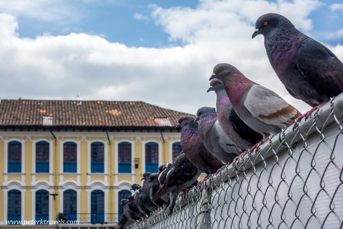 Quito pigeons.