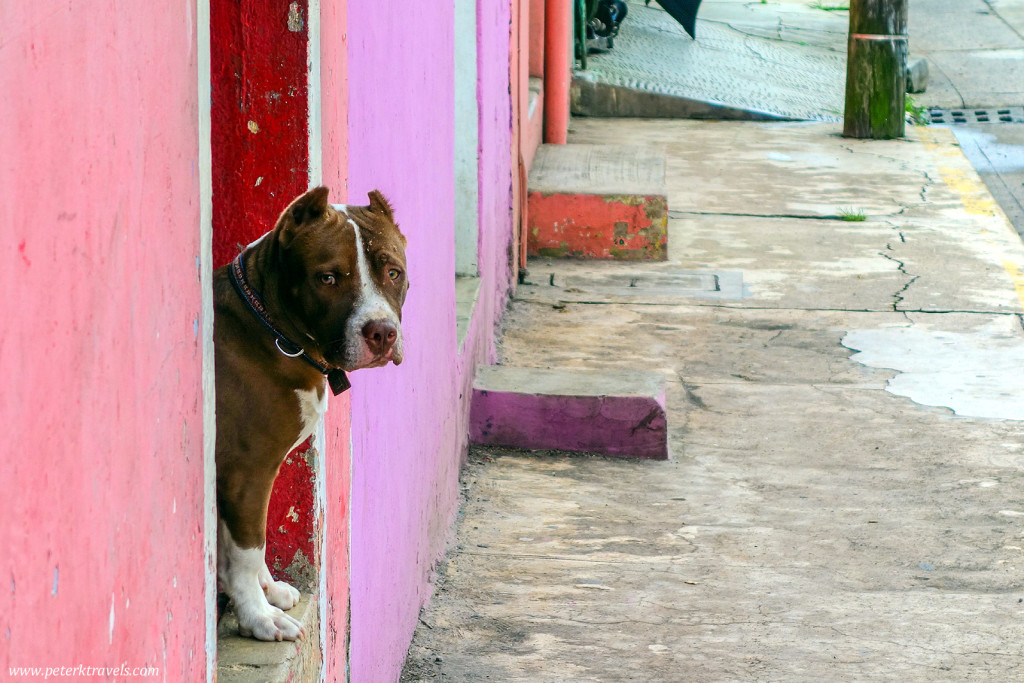 Dog in Coatepec