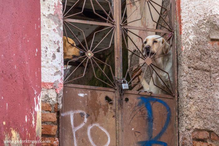 Dogs, Guanajuato