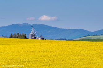 Canola field, the Palouse.