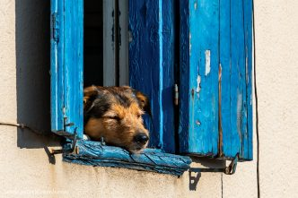 Collioure Dog